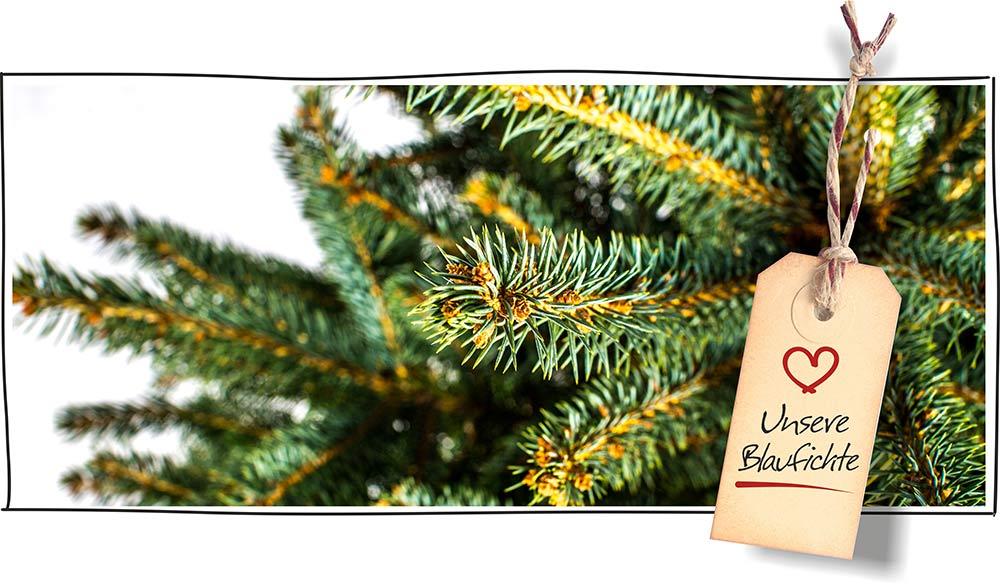 Blaufichte bestellen & kaufen – ChristbaumShopper